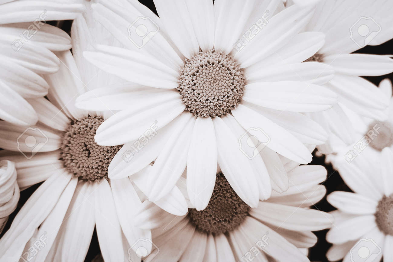 Close-up view of blooming pyrethrum flowers in the garden. Image in monochromatic version and sepia toned - 166239039