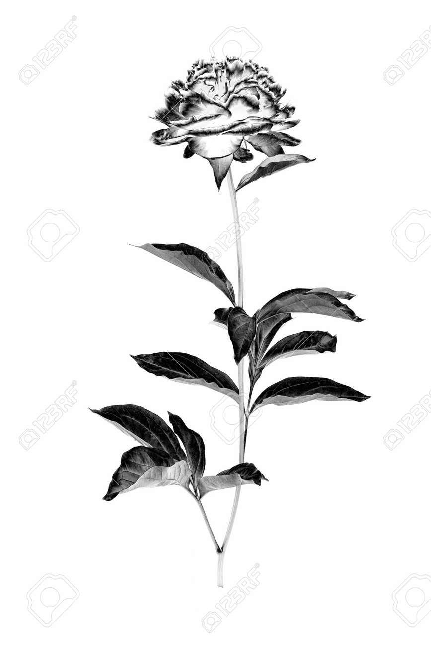 Peony flower with branch and leaves isolated on a white background. Image digitally modified with solarization black and white effect. - 168090605