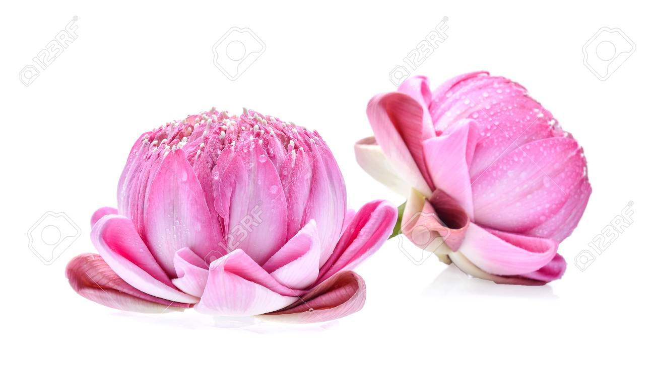 Lotus Flower Isolated On White Background With Water Drops Stock