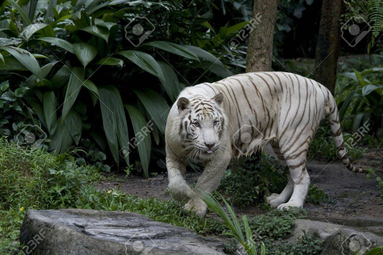 A Hungry White Tigress On The Prowl Stock Photo, Picture And ...