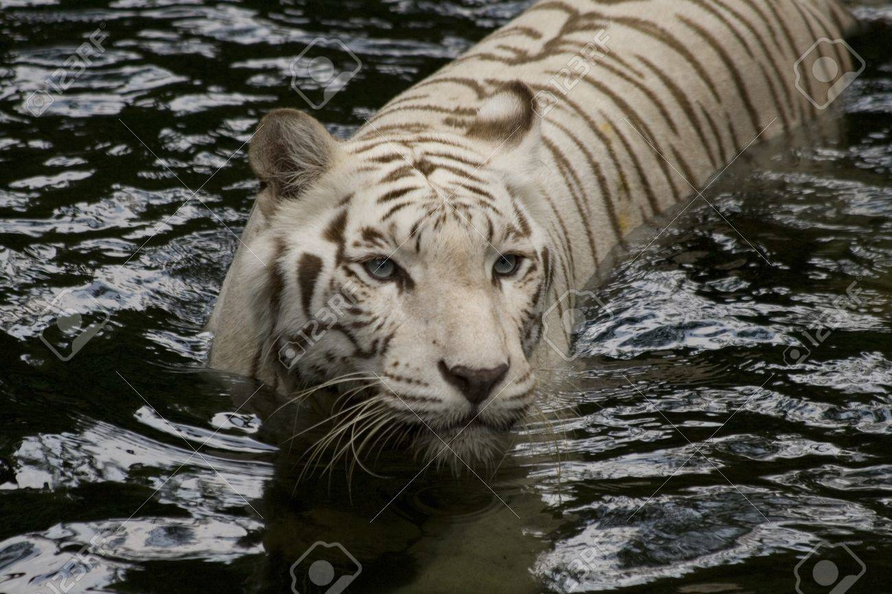 A Hungry White Tigress Eyes Her Prey Stock Photo, Picture And ...