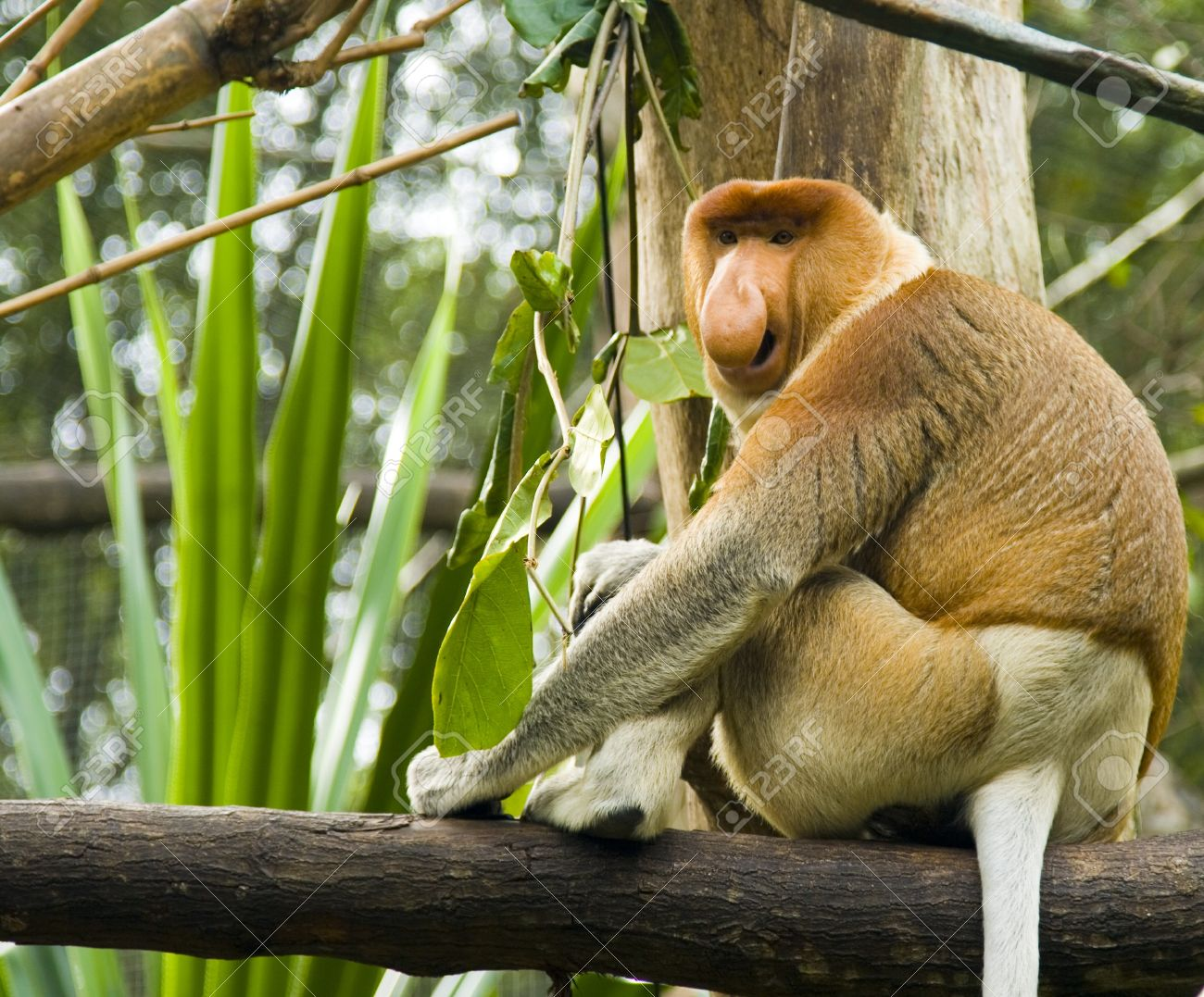 A proboscis monkey calls out to attract attention to his nose Stock Photo - 4430060