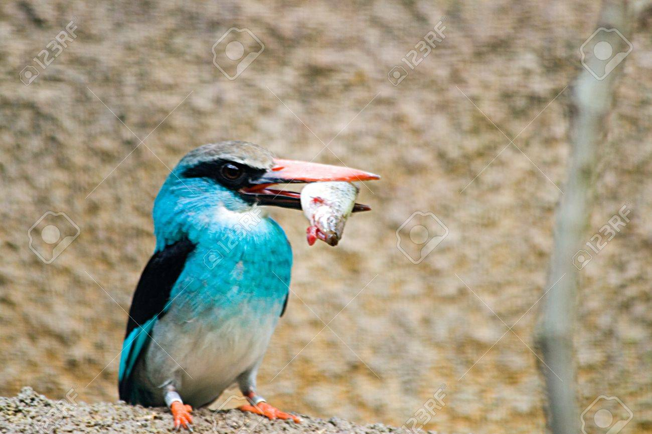 A Blue Breasted Kingfisher catches its' meal Stock Photo - 4475126