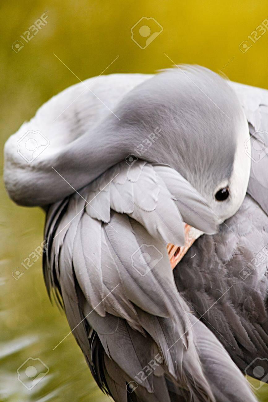 A blue crane takes time to preen itself Stock Photo - 4475124
