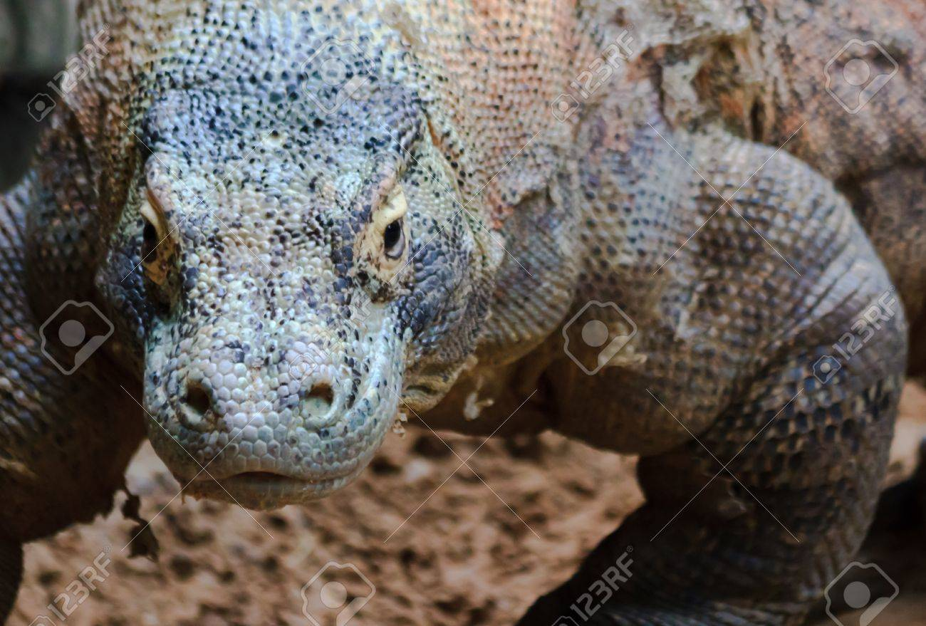A komodo dragon lumbers closer for an upgront confrontation with the camera Stock Photo - 9112254
