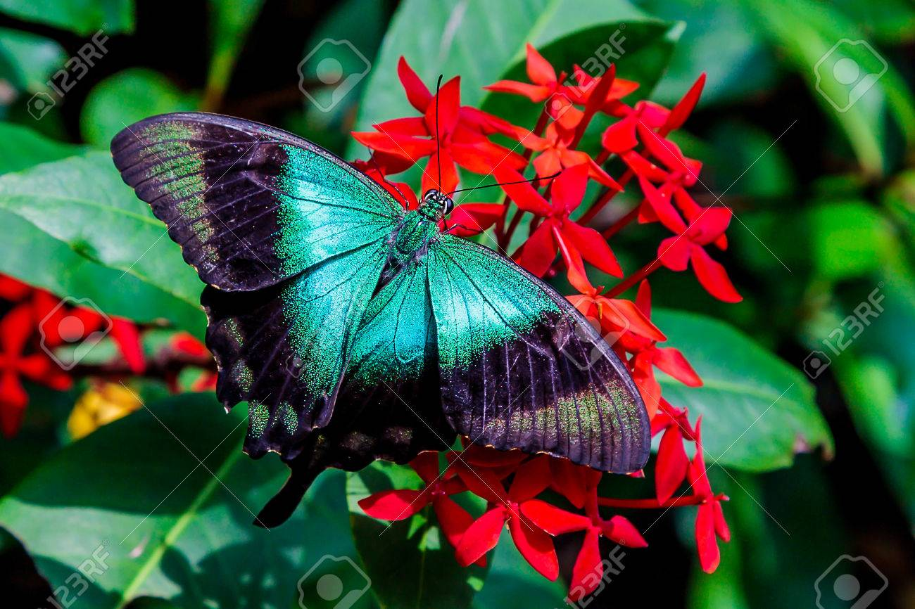 A Teal Colored Butterfly With Wings Spread On A Bunch Of Red.. Stock ...