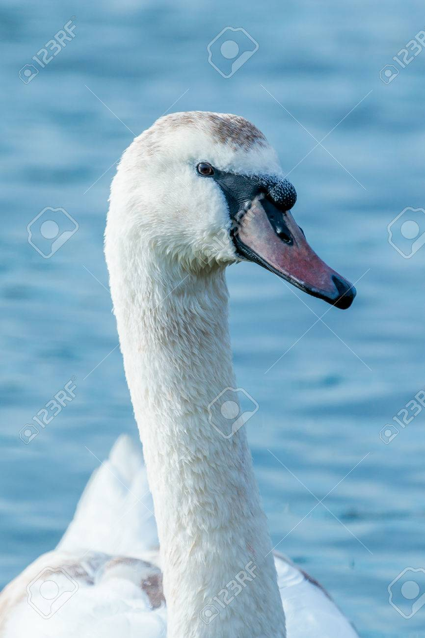 Close up of a swan with brown markings. Stock Photo - 58302741