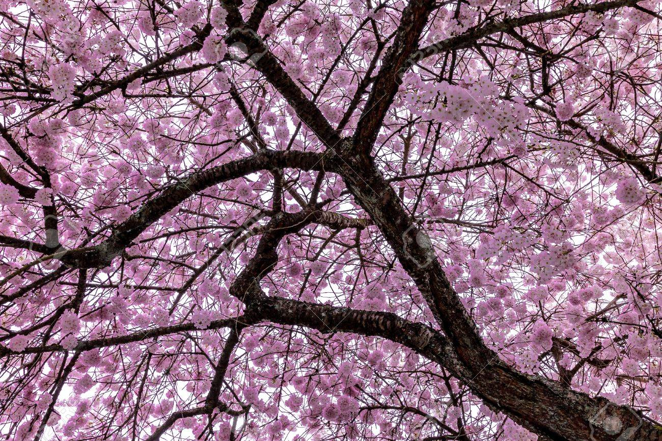 A cherry blossom tree in full bloom during the first week of Spring. Stock Photo - 58302749