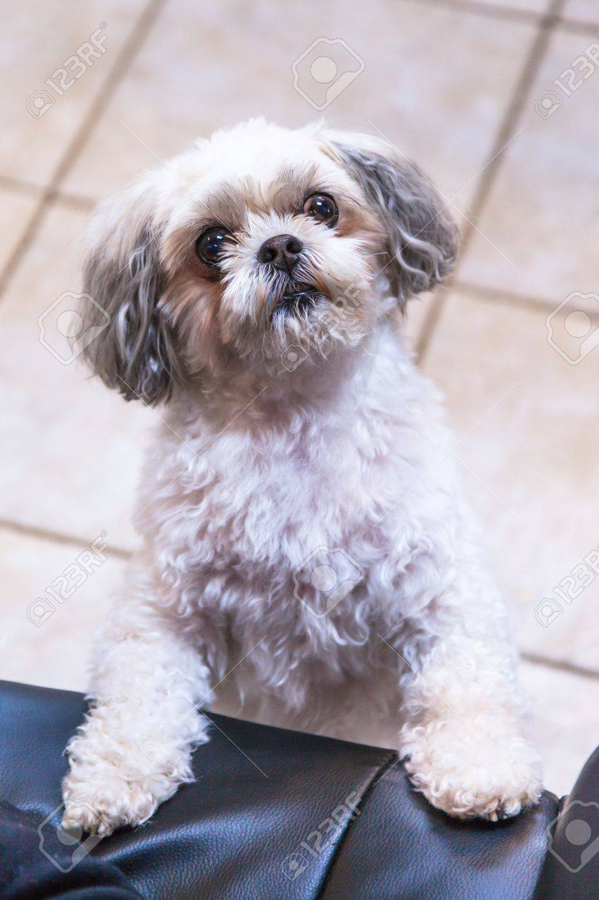 Close up of an inquisitive Shitzu dog. Stock Photo - 58948237