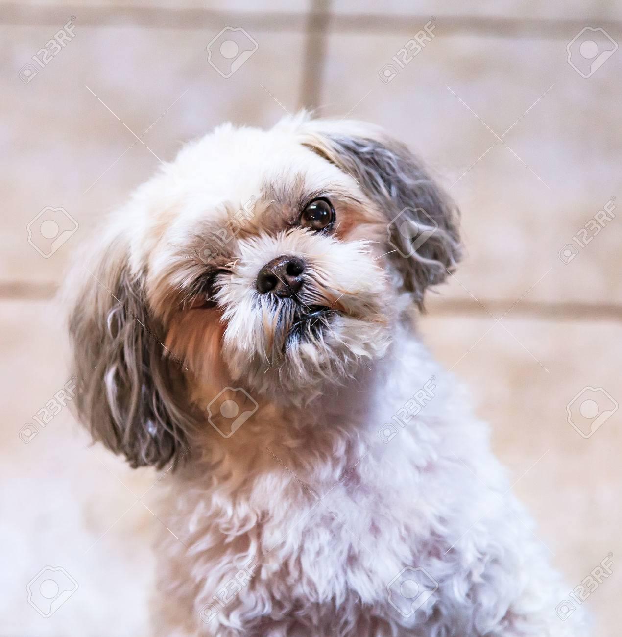 Close up of an inquisitive Shitzu dog. Stock Photo - 58948304