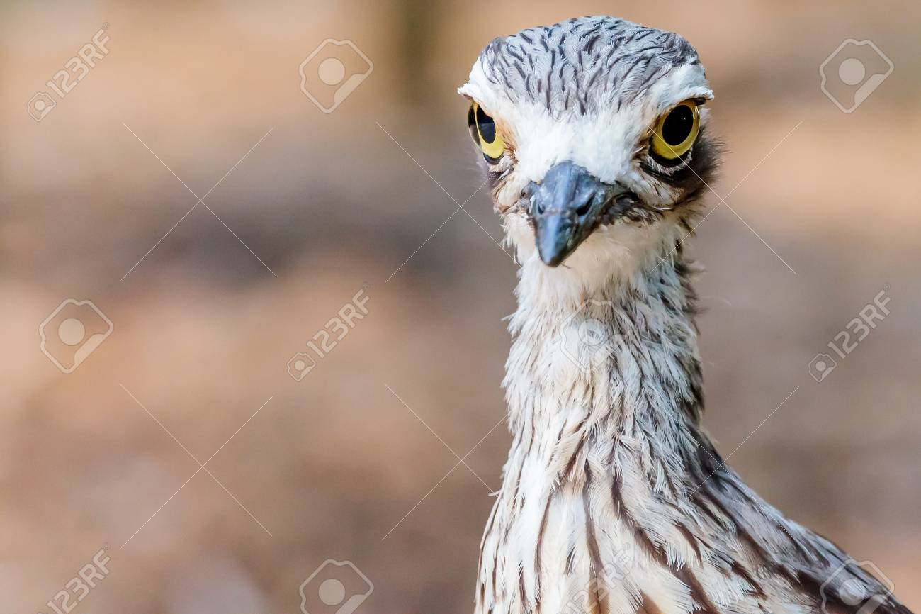 Close up of a Brush Stone Curlew's head and neck. Stock Photo - 62914467