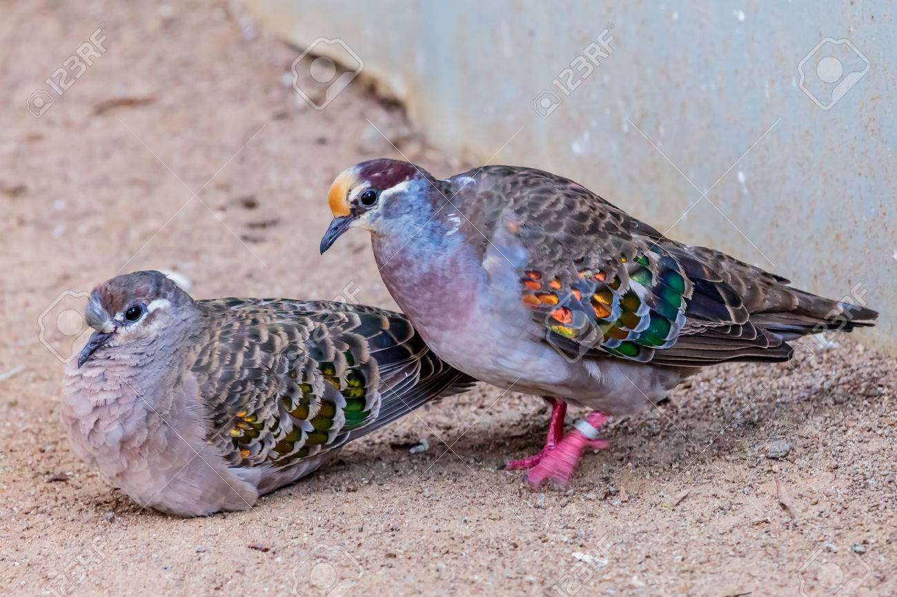 A pair of Common Bronzewing pigeons. Stock Photo - 62914504