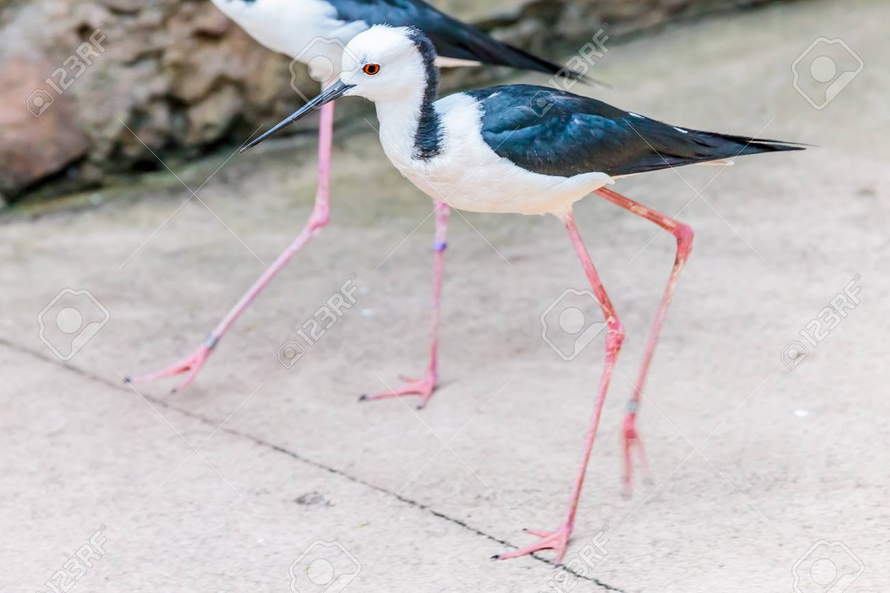 A pair of Banded Stilts walking comfortably close on the pavement. Stock Photo - 62914510