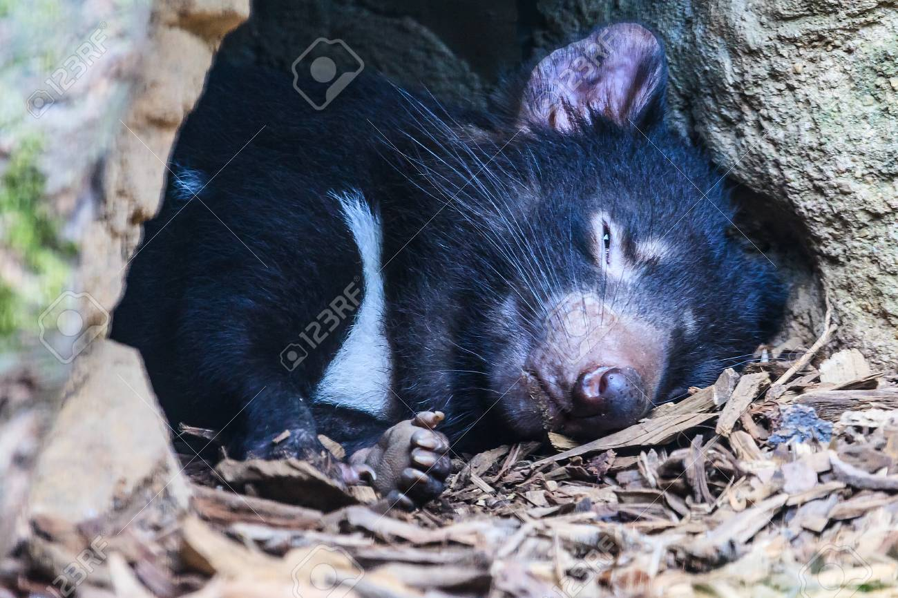 Close up of a sleeping Tasmanian Devil at the mouth of its den. Stock Photo - 64068040