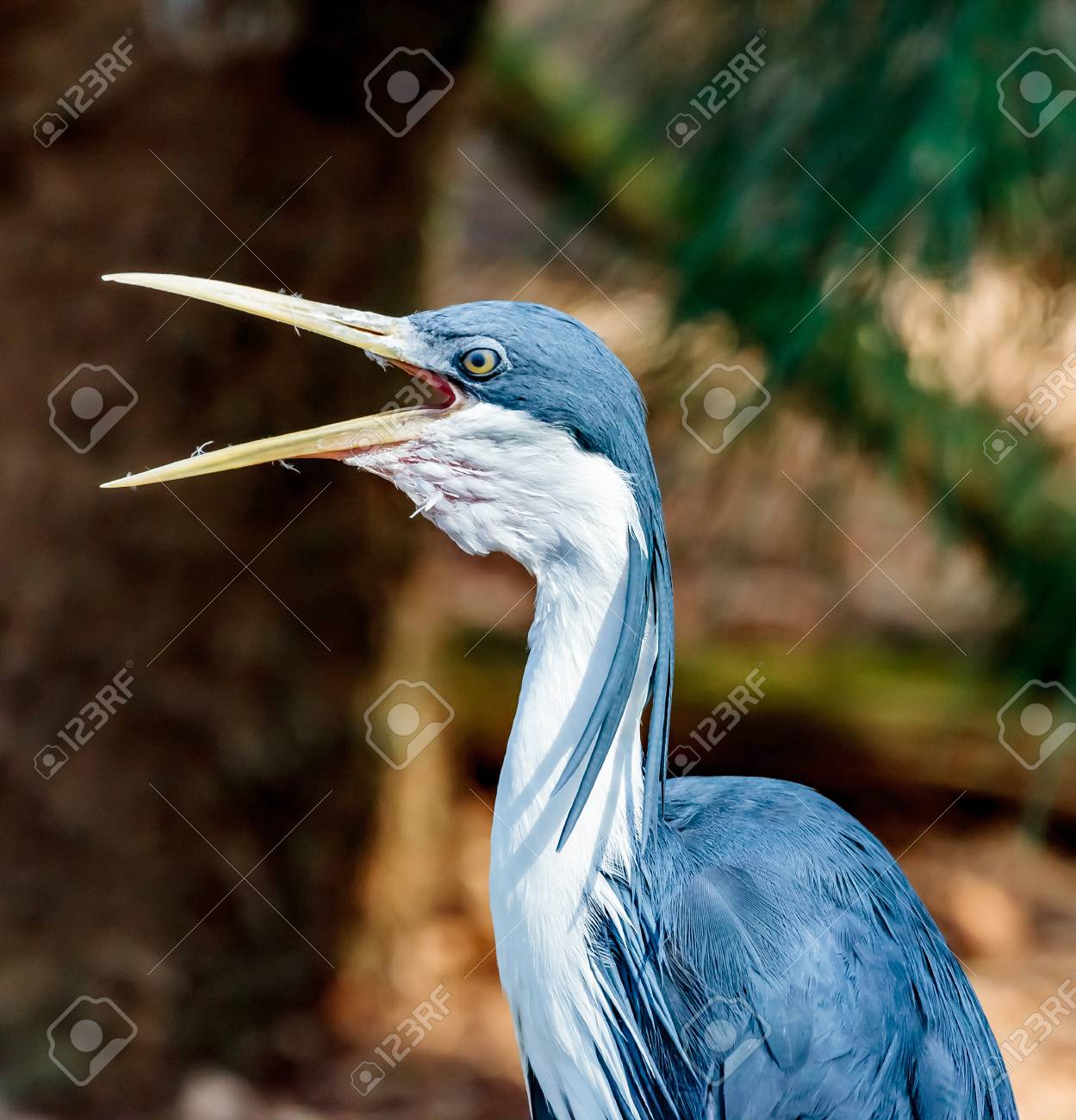 Close up of a Pied Heron mid preen. Stock Photo - 64067450