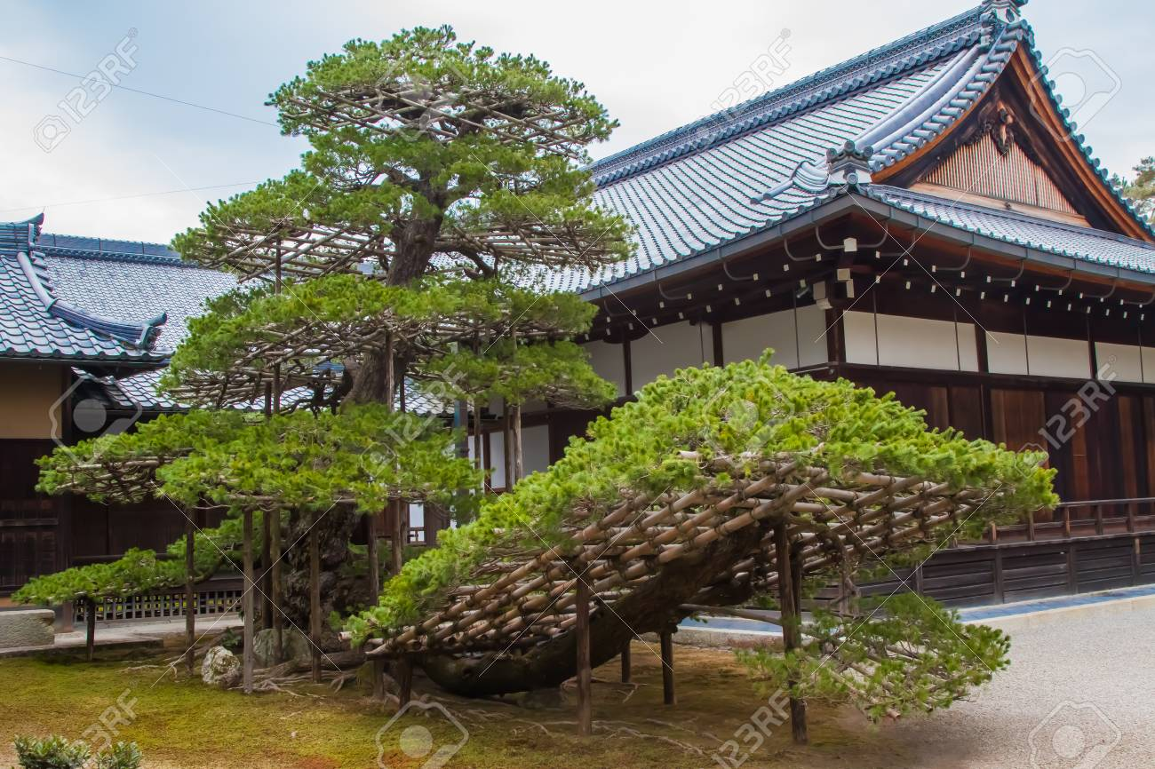 A Large Bonsai Tree In Front Of A Shrine Near The Golden Pavilion Stock Photo Picture And Royalty Free Image Image 93582912