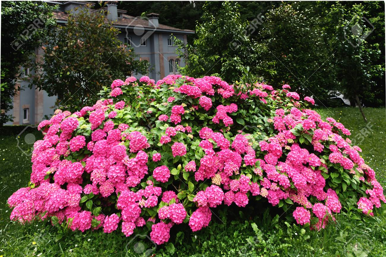 Big Bush Of A Pink Hydrangea In A Garden The Bright Pink Blossoming