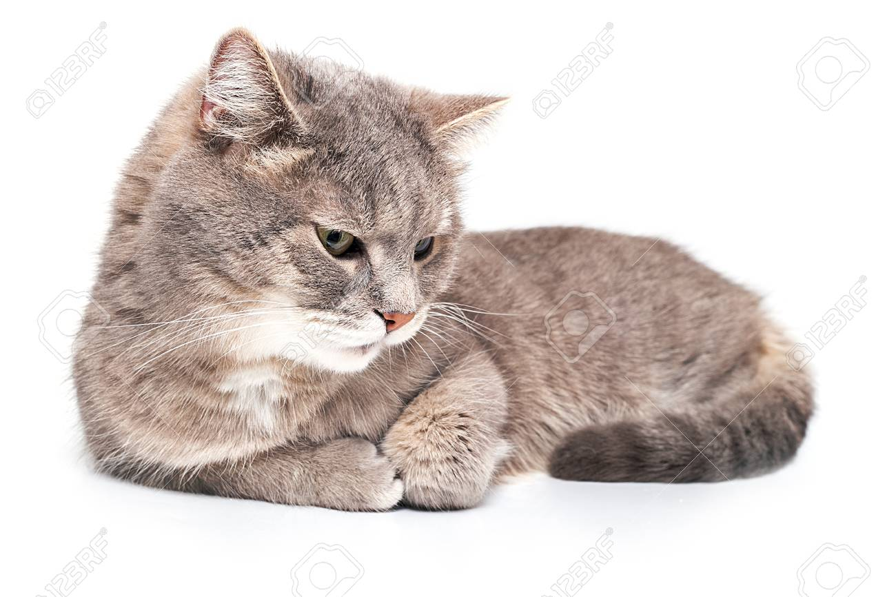 d0a95697f6e837 Stock Photo - The gray cat quietly lies, having sprained forepaws, is  isolated on white. Close up, selective focus