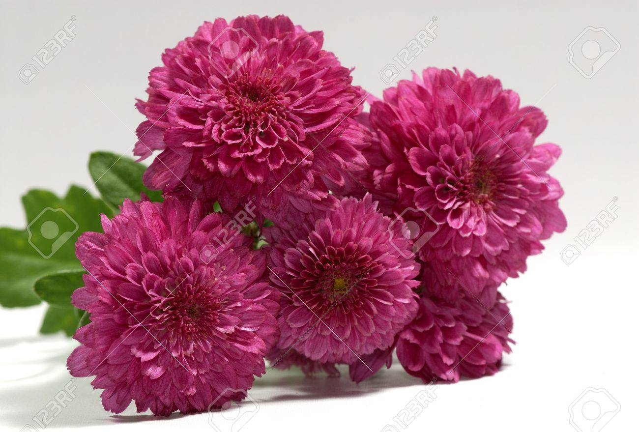 photo of magenta maroon color mums seasonal flower autumn