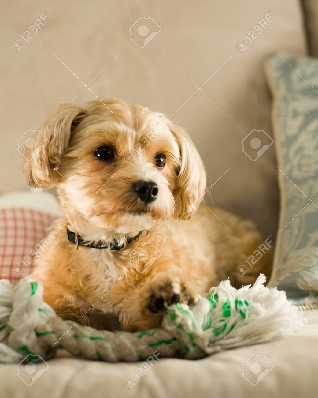 Yorkie And Shitzu Mixed Puppy On Sofa Stock Photo Picture And Royalty Free Image Image 1656651