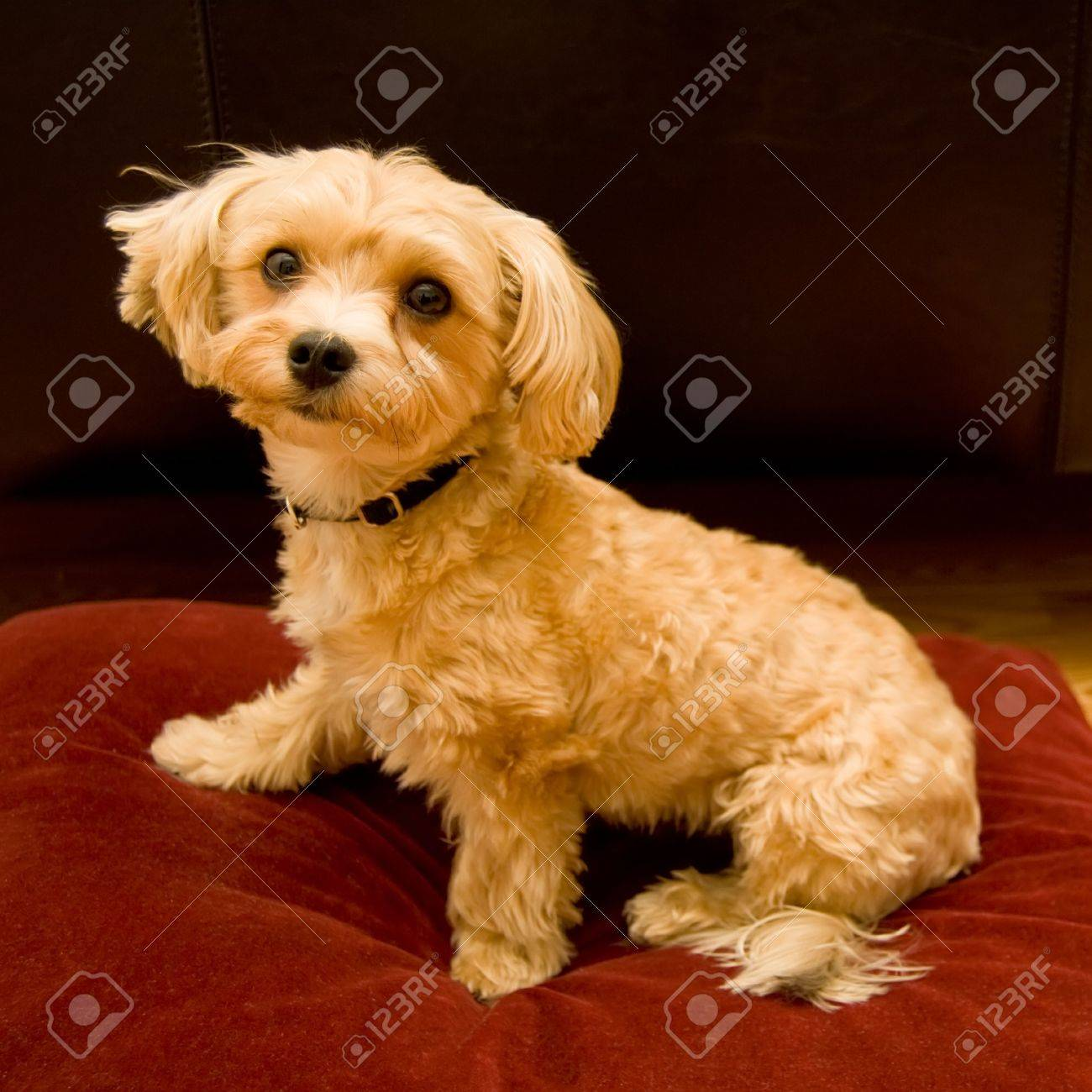 Yorkie And Shitzu Mixed Puppy Sitting On A Red Velvet Cushion Stock Photo Picture And Royalty Free Image Image 2117986