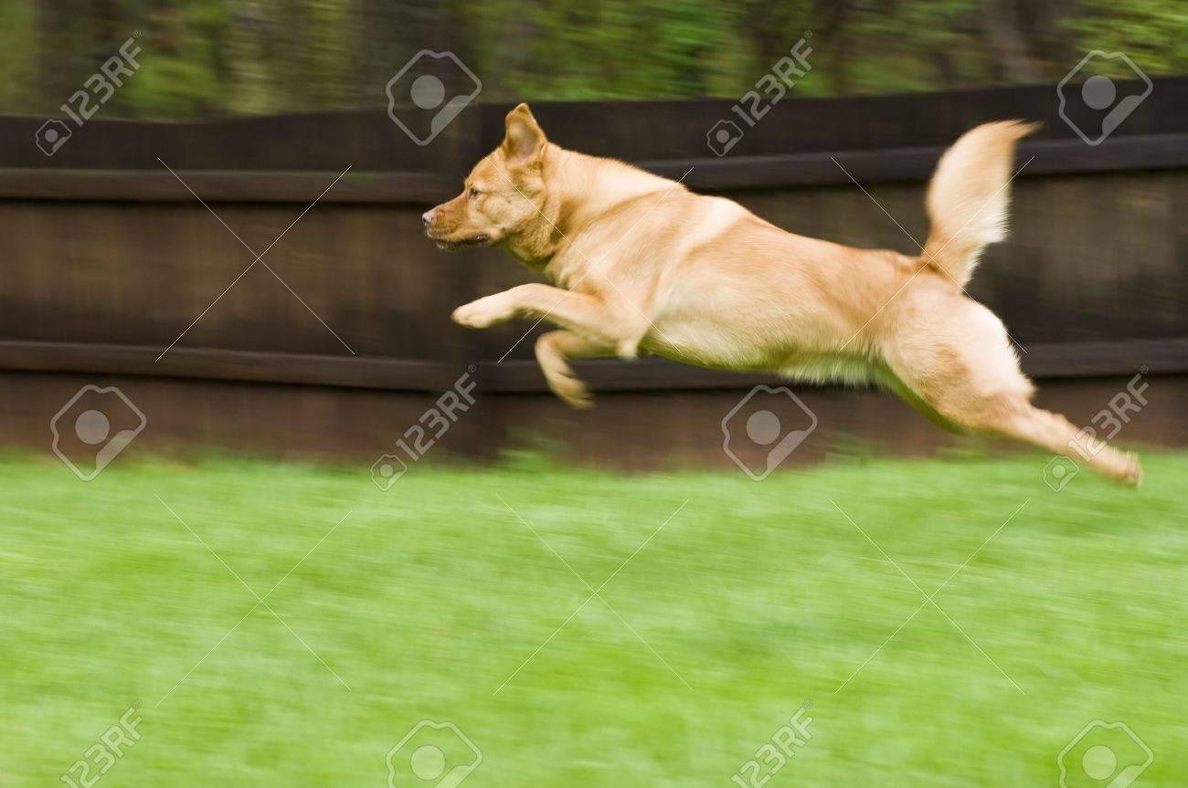 dog running and jumping in backyard stock photo picture and