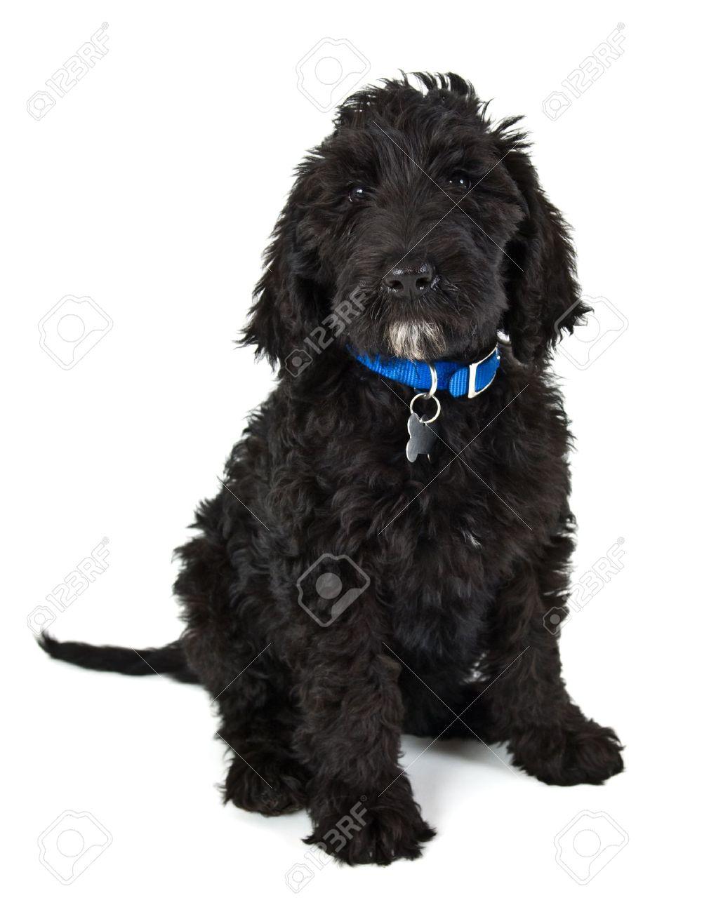 black Labradoodle puppy dog