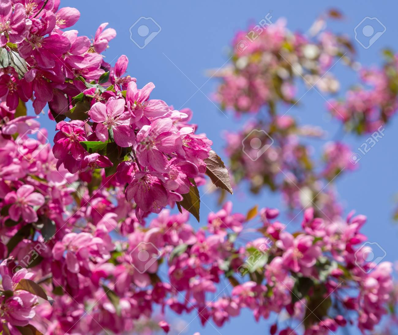Pink Flowers On The Branches Of Fruit Trees Apple Tree In Blossom