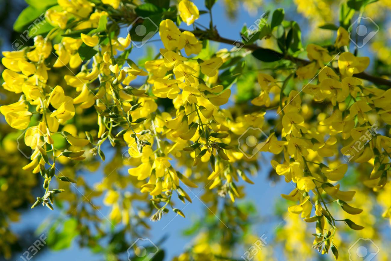 Yellow Acacia Flowers Brightly Blooming On A Tree In Spring Stock