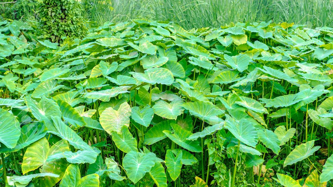 Field of lotus leaves and coconut treelandscape background stock field of lotus leaves and coconut treelandscape background stock photo 37886592 izmirmasajfo