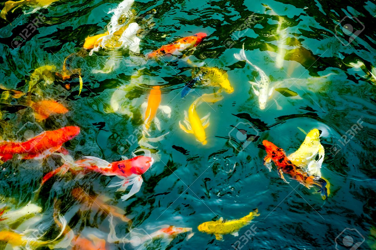 Vintage Filter : Crowd Of Koi Fish In Pond,colorful Natural ...
