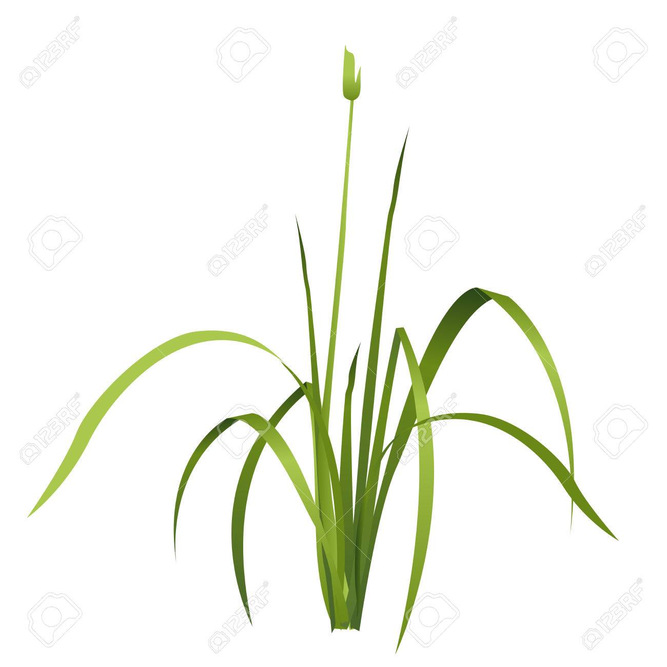 Vector Isolated Reed Water Plant Isometric Clump Of Reed Growing