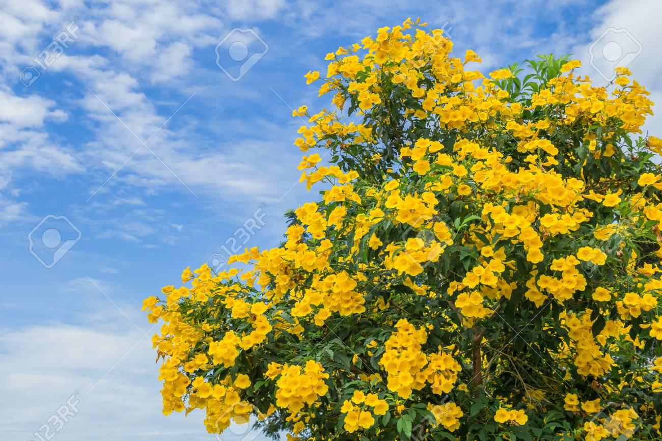 Albero Fiori Gialli.Yellow Flowers Of Golden Shower Tree In Summer Stock Photo