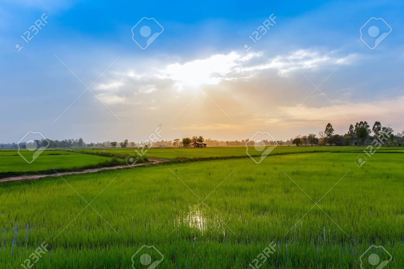 Rice field on terrace hillside in NAN, Thailand. natural landscape of rice farm. cultivation agriculture - 122583864