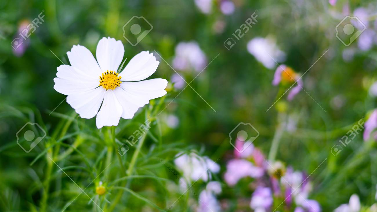 White Cosmos Flowers In Graden Stock Photo Picture And Royalty Free