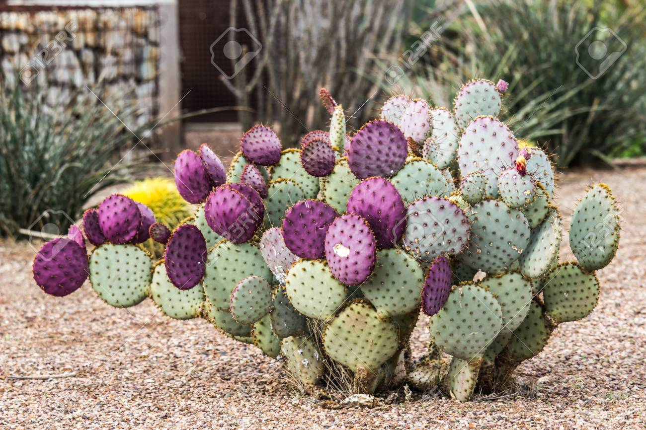 Pictures Of Prickly Pear Cactuses