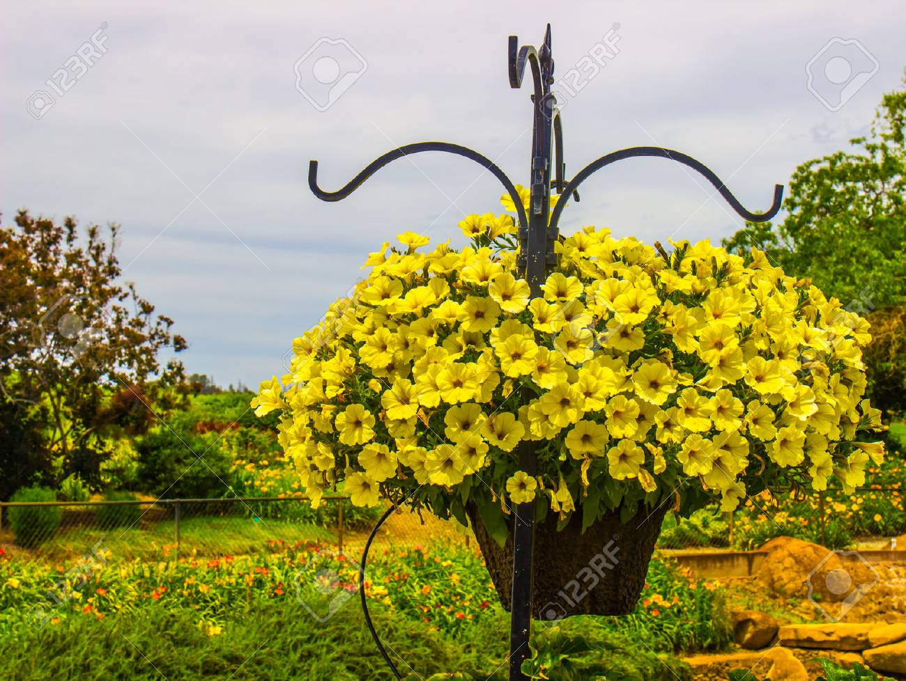 Yellow Bell Flowers In Basket Stock Photo Picture And Royalty Free