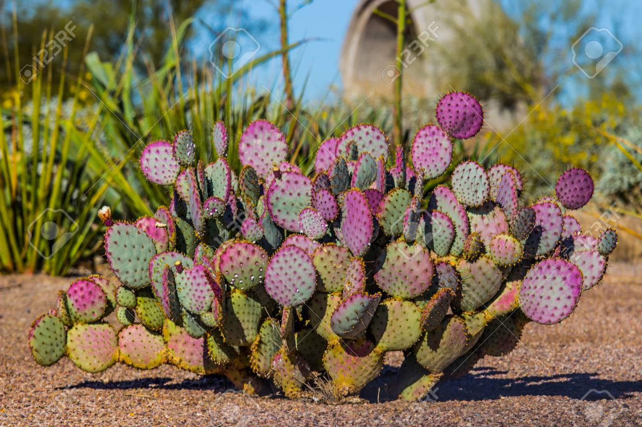 Purple Prickly Pear Cactus In Arizona Desert Stock Photo Picture