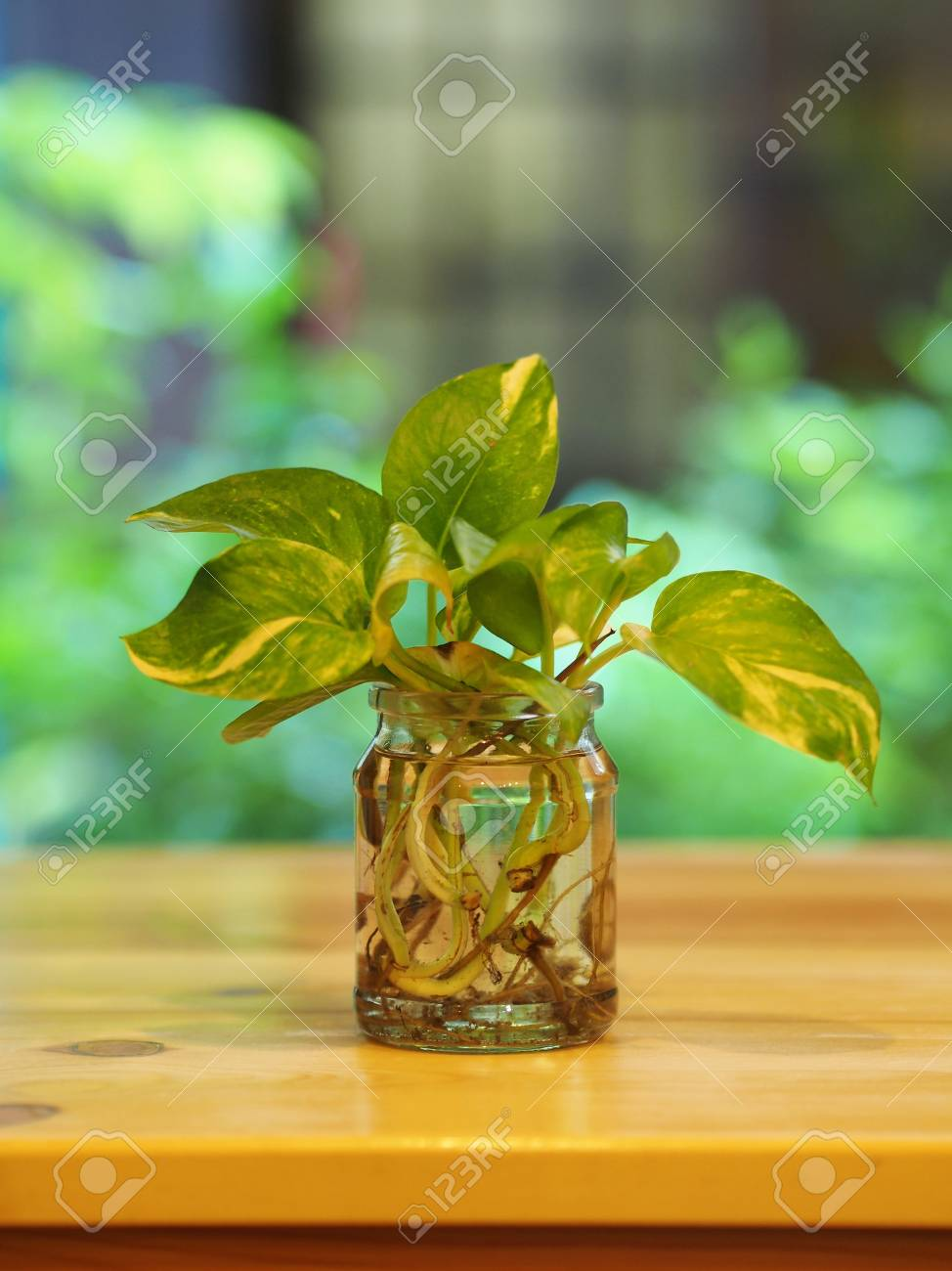 Betel Plant With A Glass Cup Vast In Minimal Style With Wooden Stock Photo Picture And Royalty Free Image Image 86572348