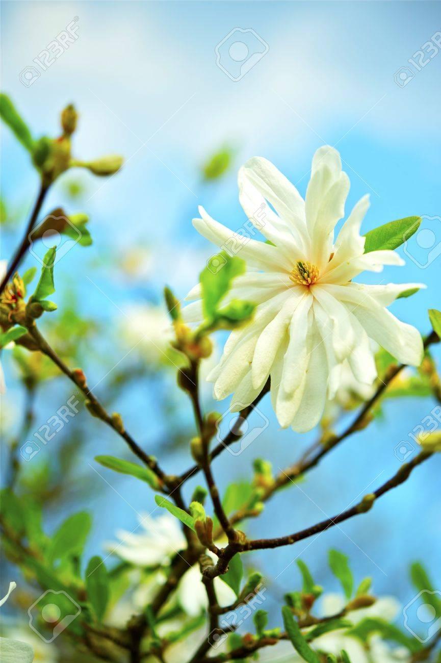 Star Magnolias Stellata Flowering Magnolia Tree Vertical Closeup