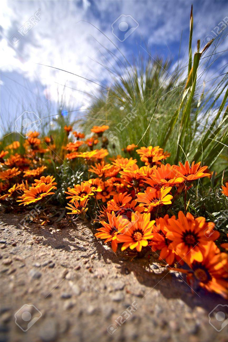 Tiny Orange Flowers Closeup Ground Level Vertical Photography  Summer Sky  Via Ultra Wide Angle Lens Stock Photo - 12787704