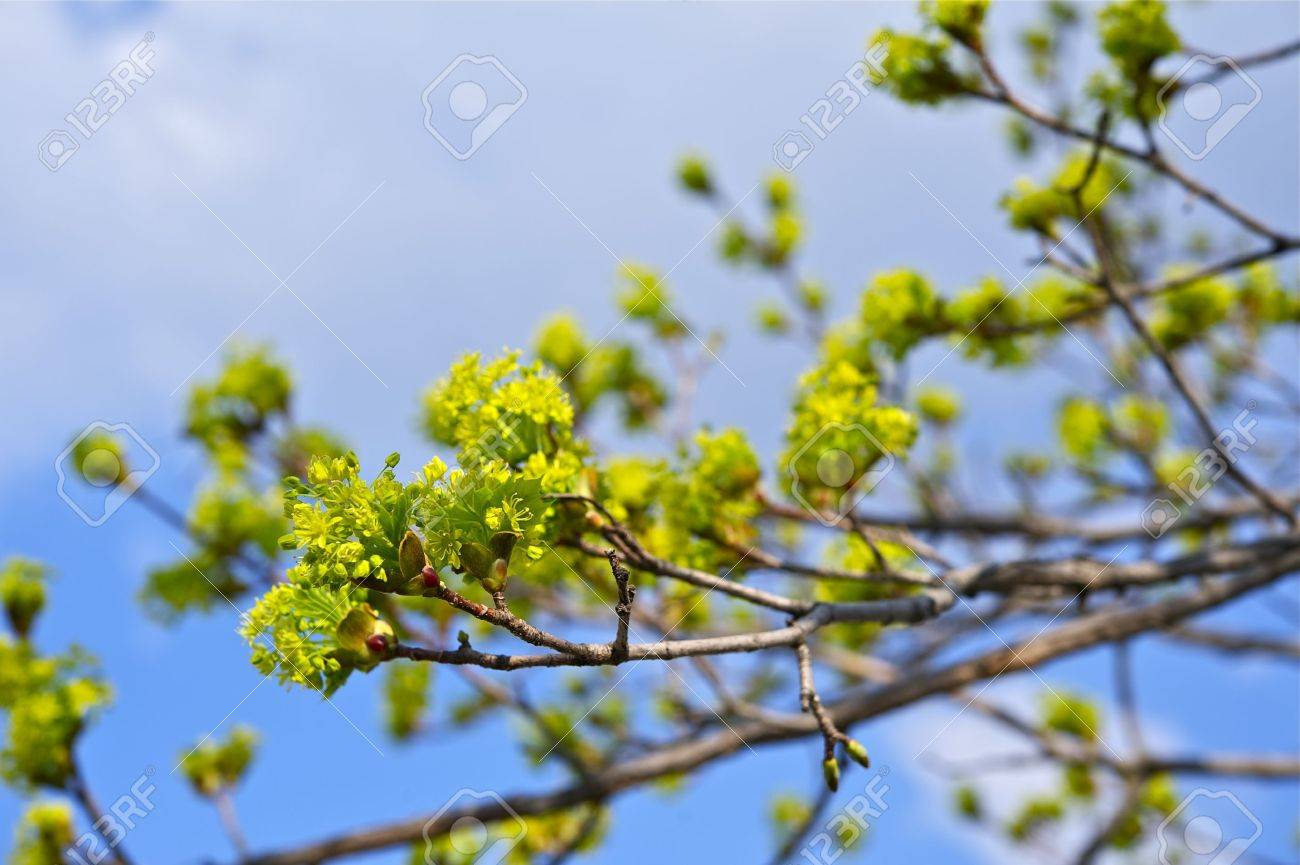 spring branches green buds on the tree spring theme stock photo