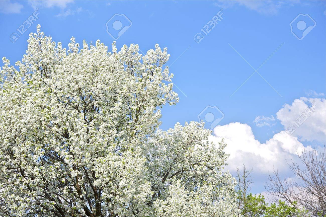 Flowering trees spring in the garden wild plums blossom and flowering trees spring in the garden wild plums blossom and cloudy blue sky izmirmasajfo
