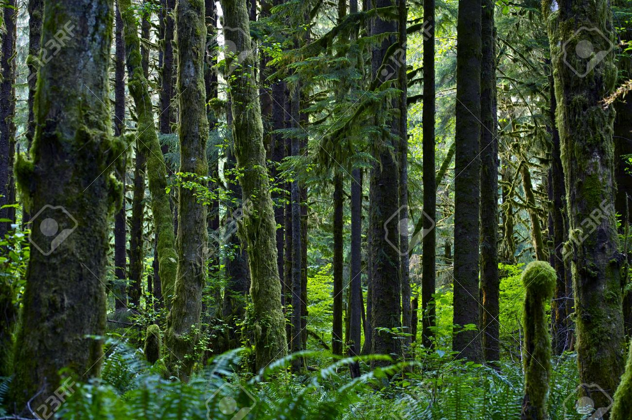 Stock Photo - Washington State Rainforest Landscape. Forest Landscapes  Photo Collection. American Pacific Northwest - Washington State Rainforest Landscape. Forest Landscapes Photo