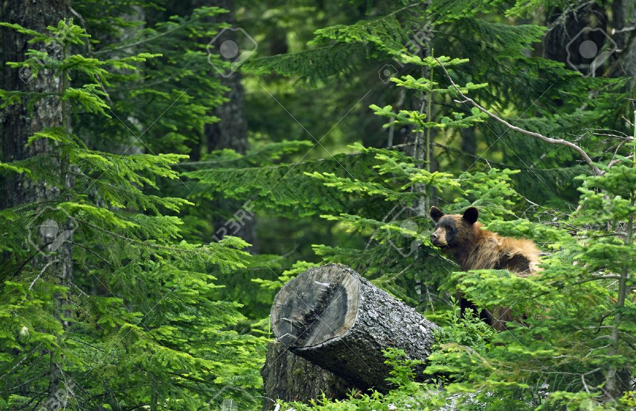 Black Bear In Forest - British Columbia, Canada. Black Bear In ...