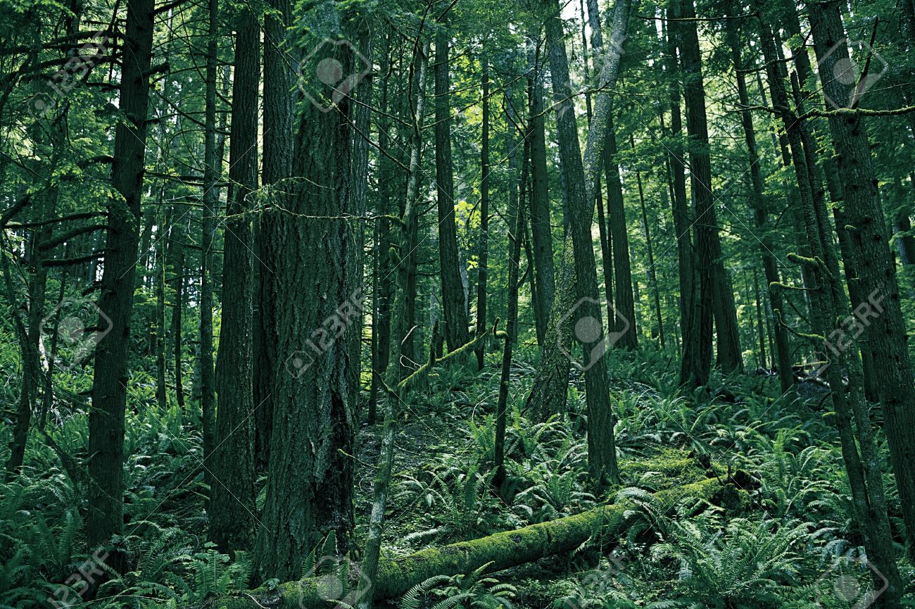 Rainforest of Washington Washington State Photography Collection Forest  Landscape Stock Photo - 15027873 - Rainforest Of Washington Washington State Photography Collection