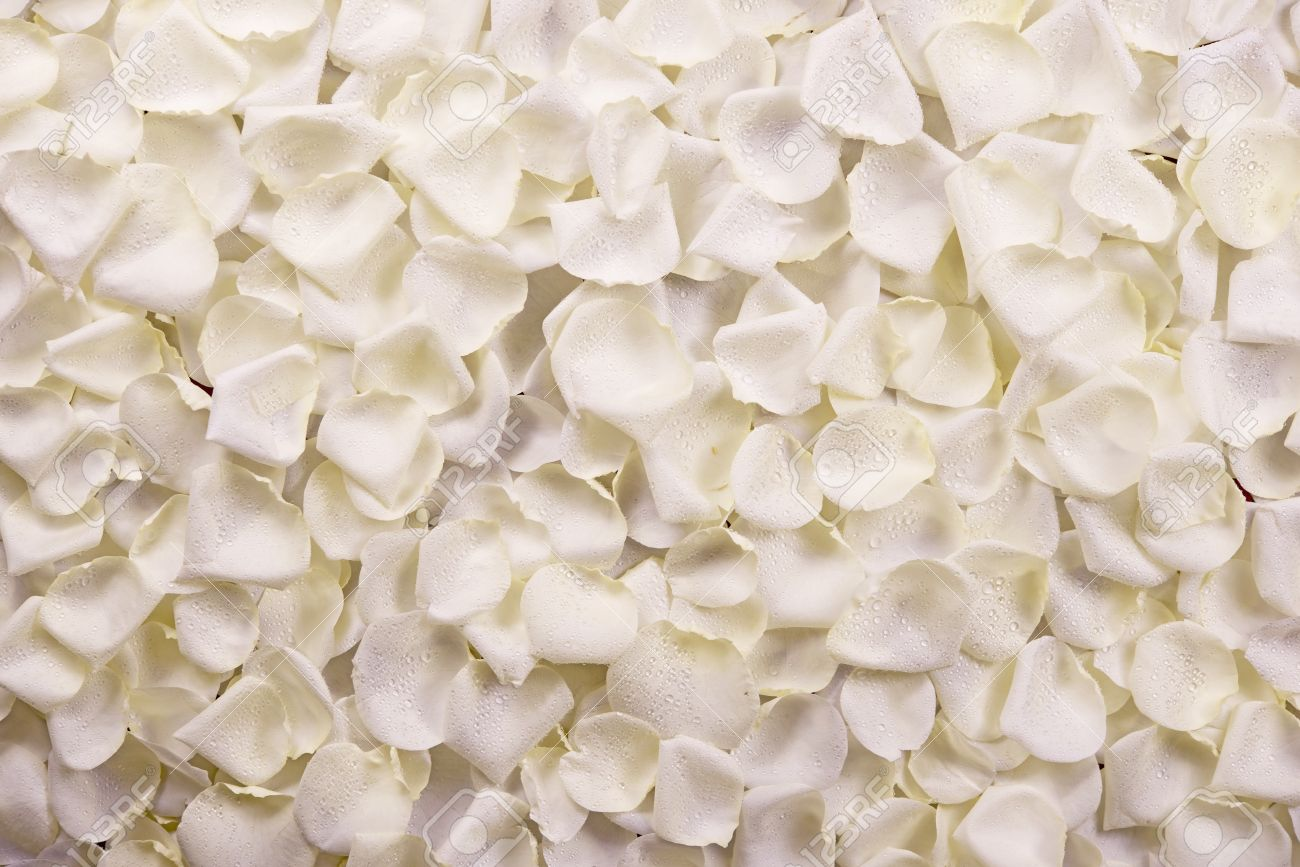 White Rose Petals Background Real Roses Backdrop