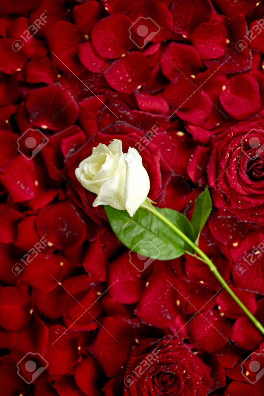White rose on red rose petals valentines day theme roses stock photo white rose on red rose petals valentines day theme roses background flowers photo collection mightylinksfo