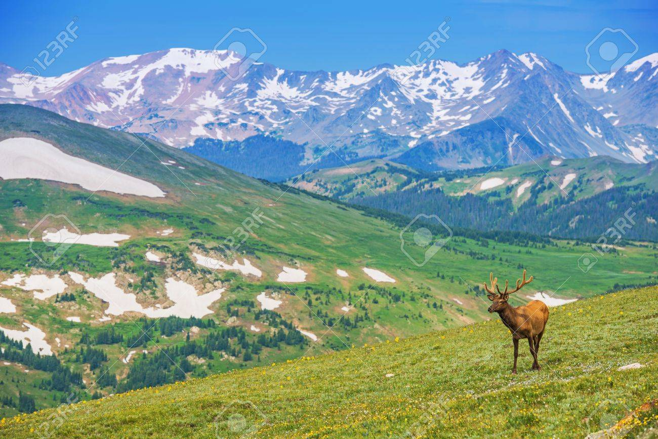 Lonely Elk On The Alpine Meadow In Colorado United States - United states mountains