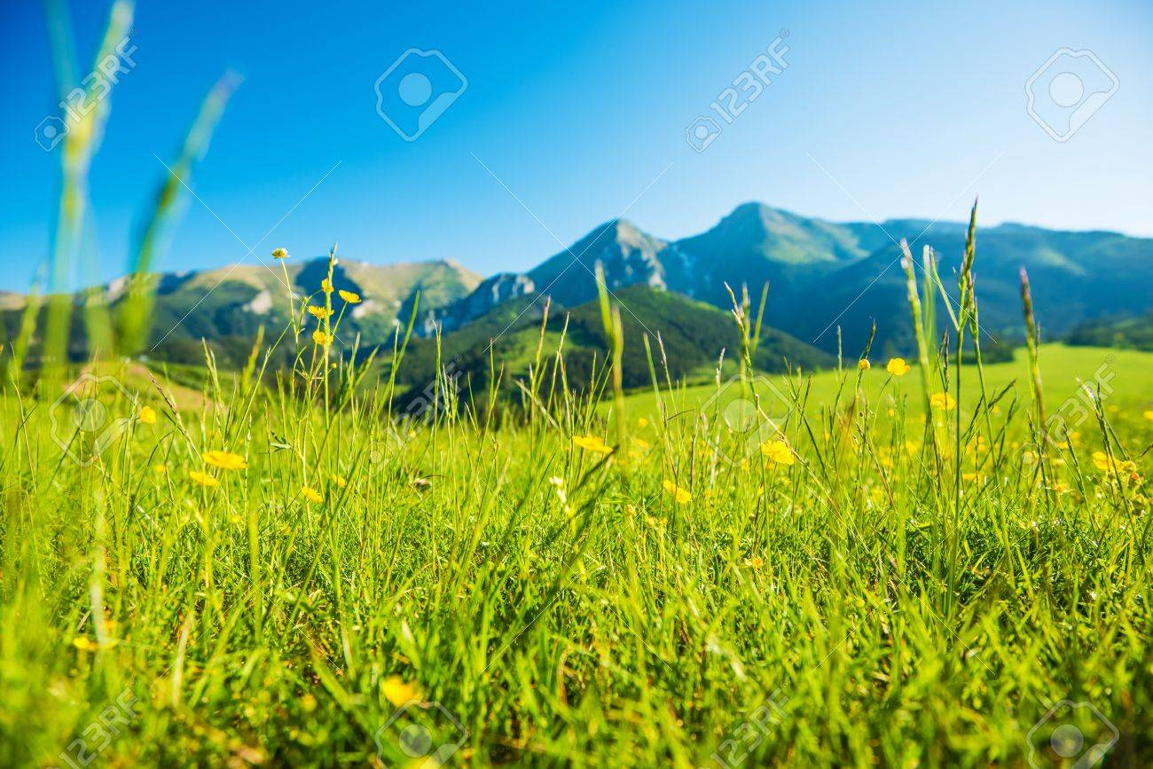 Mountains summer meadow sunny grassy field with yellow wildflowers sunny grassy field with yellow wildflowers stock photo 41102590 voltagebd Images